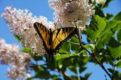Butterfly on a Flower. A yellow butterfly flying against a blue sky Royalty Free Stock Images