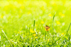 Butterfly on a flower. Brown butterfly on yellow flower on a sunny day Royalty Free Stock Image