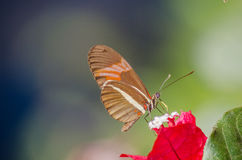 Butterfly and flower. A heliconius erato butterfly feeding on a flower Royalty Free Stock Photography