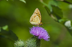 Butterfly and the flower Royalty Free Stock Images