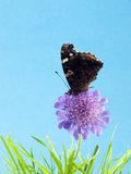 Butterfly on flower. Butterfly on a purple flower in the grass with a blue background Royalty Free Stock Photo