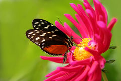 Butterfly on a flower. Nice butterfly on a fushia flower Royalty Free Stock Photos