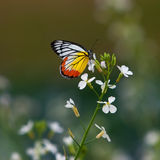 Butterfly on a flower Royalty Free Stock Photos