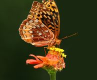 Butterfly on flower. A beautiful butterfly on a yellow sunflower Royalty Free Stock Photos
