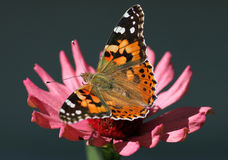 Butterfly on flower. Butterfly Painted Lady sitting on flower (zinnia Royalty Free Stock Photos