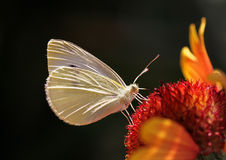 Butterfly on flower. Close up of white cabbage butterfly on flower Stock Photo
