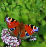 Butterfly on flower. Beautiful red butterfly on flower Stock Photos