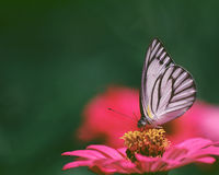 ฺButterfly and flower. A colorful flower with a white butterfly Stock Image