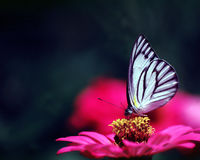 Butterfly and flower. A white butterfly and a colorful flower Stock Image