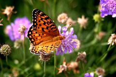 ButterFly on a Flower. Yellow, black and orange butterfly on a purple flower Royalty Free Stock Photos