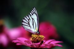 Butterfly and flower. A colorful butterfly and her lovely flower Royalty Free Stock Photos