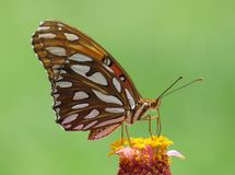 Butterfly on flower. Butterfly front and center resting on flower royalty free stock photo