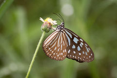 Butterfly and flower. Butterfly eat flower pollen.Moring in Thailand Royalty Free Stock Photo