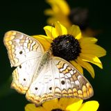 Butterfly on flower. Beautiful butterfly landed on yellow flower Royalty Free Stock Images