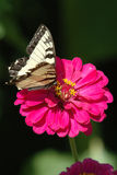 Butterfly Flower. Image taken of a butterfly resting on a flower Royalty Free Stock Photo