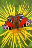 Butterfly on the flower. Butterfly sitting at the inula flower Royalty Free Stock Images