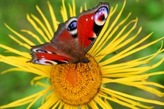 Butterfly on the flower. Butterfly sitting at the inula flower Royalty Free Stock Photography