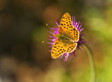 Butterfly on the flower. Butterfly solitary laid up a flower Stock Image