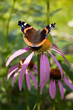 Butterfly in a flower. Butterfly in a flower in a summer garden Stock Images