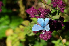 Butterfly on flower. Blue butterfly(Polyommatus) on flower Royalty Free Stock Images