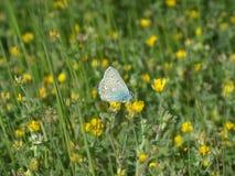 butterfly flower Στοκ Εικόνα
