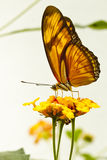 Butterfly in flower Royalty Free Stock Photos