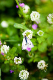 White Butterfly on Wild Clover Flowers. White butterfly resting on wild clover blooms Stock Image