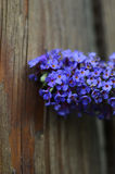 Butterfly flower against weathered wood fence Royalty Free Stock Image