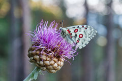 Butterfly on a flower. Butterfly apollo on purple flower royalty free stock photos