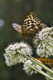 Butterfly is on a flower Royalty Free Stock Photos