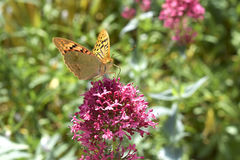 Butterfly on flower. Butterfly Argynnis paphia on pink flower Royalty Free Stock Photography