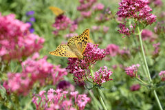 Butterfly on flower. Butterfly Argynnis paphia on pink flower Royalty Free Stock Photos