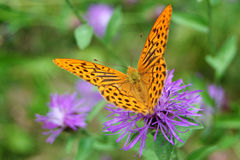 Butterfly on flower. Butterfly (Argynnis paphia) on a purple flower Stock Photography