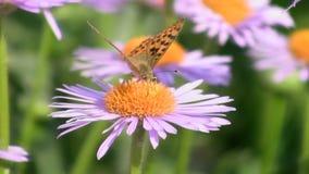 Butterfly on a flower stock video