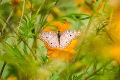 Butterfly and flower. Beautiful butterfly among the branches of flowers.  in spring it enchants the gardens with flowers and beautiful butterflies, that go stock photo