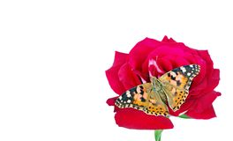 Butterfly on a flower. beautiful butterfly painted lady on flower isolated on a white. copy spaces. rose and butterfly. Butterfly on a flower. beautiful stock photos