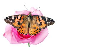 Butterfly on a flower. beautiful butterfly painted lady on flower isolated on a white. copy spaces. rose and butterfly. Butterfly on a flower. beautiful stock photography