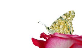 Butterfly on a flower. beautiful butterfly painted lady on flower isolated on a white. copy spaces. rose and butterfly. Butterfly on a flower. beautiful royalty free stock photography
