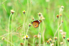 Butterfly on flower. Beautiful Common Tiger butterfly on flower in the outdoor nature stock photo
