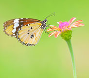 Butterfly on flower. Beautiful ( Monarch ) Plain Tiger butterfly perching on pink flower. on green nature  background Royalty Free Stock Photo