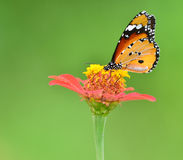 Butterfly on flower. Beautiful ( Monarch ) Plain Tiger butterfly perching on pink flower. on green nature  background Stock Photography