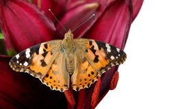 Butterfly on a flower. beautiful butterfly painted lady on flower isolated on a white. copy spaces. butterfly and lily. Butterfly on a flower. beautiful stock image