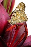 Butterfly on a flower. beautiful butterfly painted lady on flower isolated on a white. copy spaces. butterfly and lily. Butterfly on a flower. beautiful stock photography