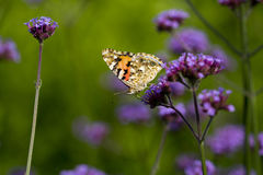 Butterfly on flower. Beautiful patern on backside wing butterfly Royalty Free Stock Image