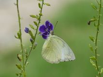 Butterfly and flower. Royalty Free Stock Images