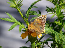 Butterfly on a flower. Beautiful butterfly sits on a yellow flower Stock Photo