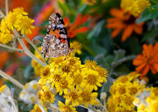 Butterfly on a flower. Butterfly on a beautiful flower in the summer in July Royalty Free Stock Photo