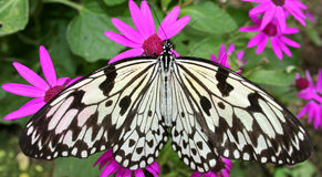 Butterfly on Flower Bed. A butterfly sitting on a bed of pink flowers Stock Photos