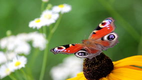 Butterfly on a Flower. Butterfly on Big Yellow Flower stock footage