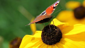 Butterfly on a Flower. Butterfly on Big Yellow Flower stock video